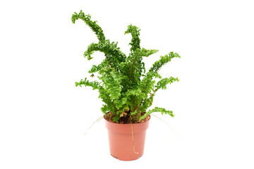 Fern in flower pot isolated on white background close up