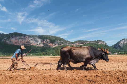 Man cultivating land with plough and oxen in farm near hills