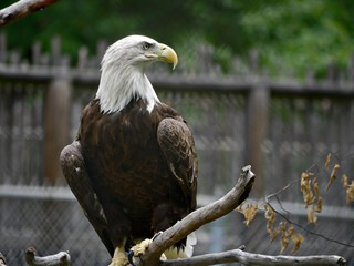 Medium close up of a bald eagle perched on a branch on alert position