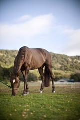 Horse grazing in a field.