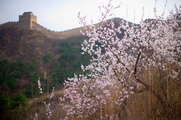 Blossoms with the Great Wall Of China in the background.