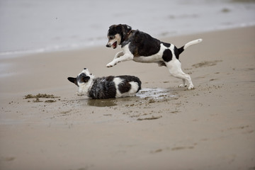 Two dogs play fighting on a sandy beach.
