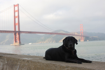 Portrait of a black dog lying on a stone ledge in front of a large suspension bridge crossing a harbor.
