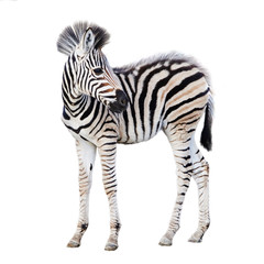 Poster Zebra Cute child zebra isolated on white background