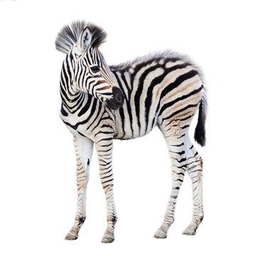 Cute child zebra isolated on white background