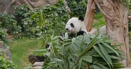 Fototapete - Panda eat green bamboo