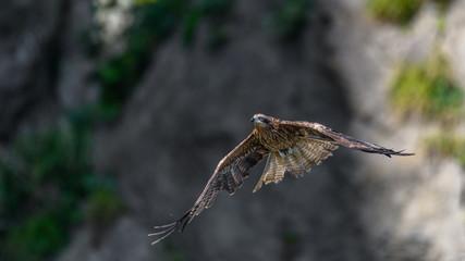 Black kite flying in a rift
