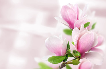 Photo sur Plexiglas Magnolia pink magnolia flowers background template