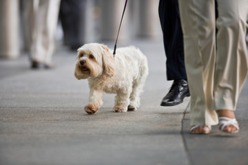 Small white dog on a lead walking on the sidewalk in the city.