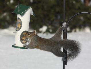 Gray Squirrel on Bird Feeder