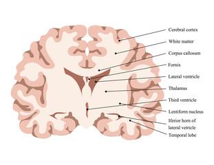 Neuroscience vector illustration. Scheme of the human brain structure. Cut brain. Brain lobes model