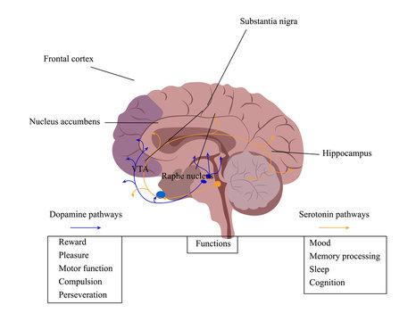 Neuroscience vector illustration. Model of the brain reward system. Reward system scheme