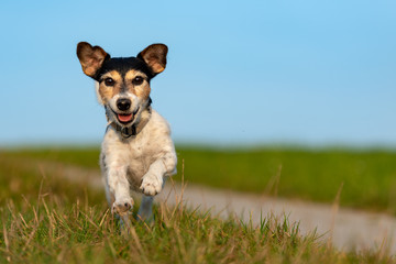Jack Russell Terrier is running in front of blue sky over a path