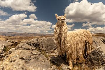 Fotorolgordijn Lama Sacsayhuaman