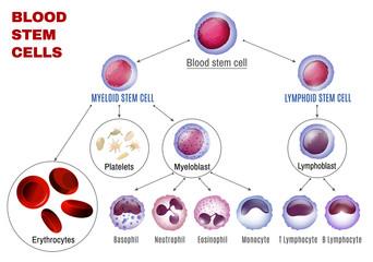Blood Stem Cells