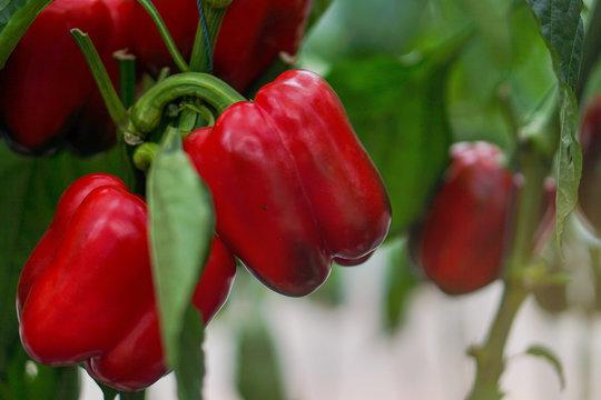 Fresh bell peper growing in garden. Organic vegetable farm