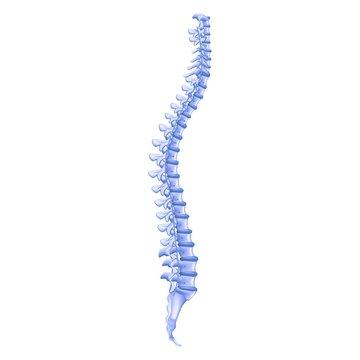 Realistic Illustration Bone Profile Human Spine