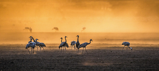 Cranes  in a arable field at sunrise.   Common Crane, Scientific name: Grus grus, Grus Communis.  Feeding of the cranes at sunrise in the national Park Agamon of Hula Valley in Israel.