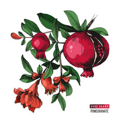 Hand drawn pomegranate branch