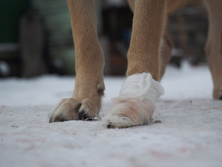The dog's paw is bandaged. Winter, snow