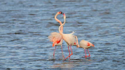Greater Flamingo in Spain