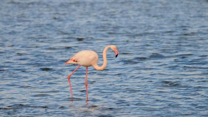Greater Flamingo Coto Doñana Spain.