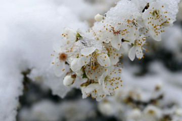 White flowers with snow