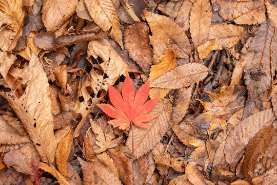 Red maple leaf stands out from brown leaves fallen on forest floor in late autumn