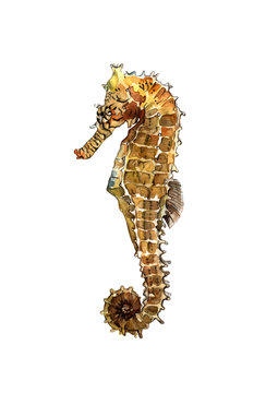 Watercolor seahorse isolated