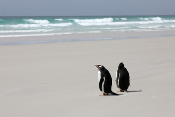 Two Gentoo penguins are standing on the beach in The Neck on Saunders Island, Falkland Islands