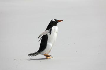 A single Gentoo penguin runs across the beach in The Neck on Saunders Island, Falkland Islands