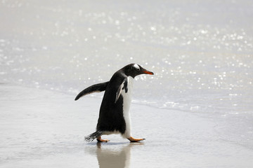 A penguin is running in the shallow surf on the beach in The Neck on Saunders Island, Falkland Islands