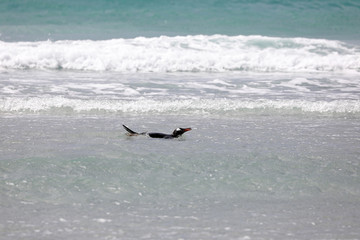 A penguin is swimming in the surf on the beach in The Neck on Saunders Island, Falkland Islands