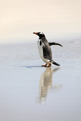 A penguin is running on the wet beach in The Neck on Saunders Island, Falkland Islands