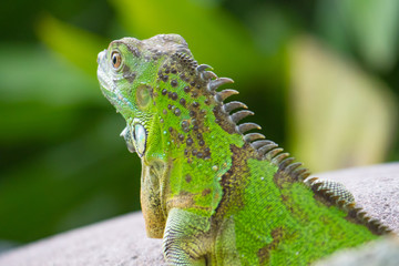 head of green iguana from behind