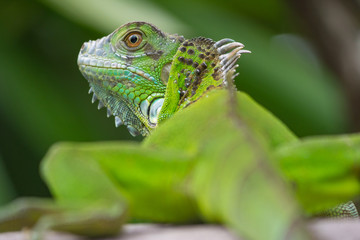 green iguana from behind