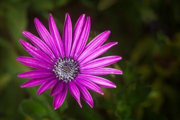 Purple Nairobi Purple Osteospermum or daisybush flower, Kenya, East Africa