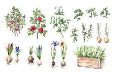 Garden plants, herbs, vegetables and flower bulbs, Watercolor and pencil hand drawn graphics. Isolated plant collection