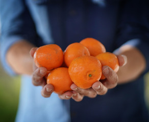 Fototapeta Close up of local farmer's hands holding organic oranges and clementines obraz