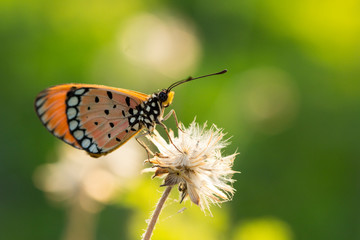 The Tawny Coster butterfly (Acraea violae) on flower and green nature