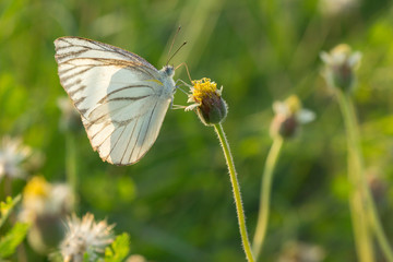 The Striped Albatross butterfly (Appias olferna olferna ) on flower and green nature