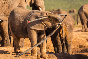 A young elephant plays with trash in the Addo Elephant Nationalpark