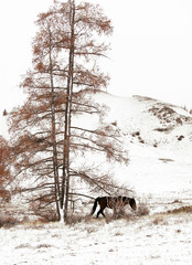 winter landscape in the mountains, a large larch almost all flew from the needles. close to wild horse grazing in the Bush grass