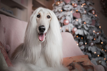 afghan hound dog christmas