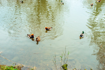 Group of spot-billed ducks on the pond