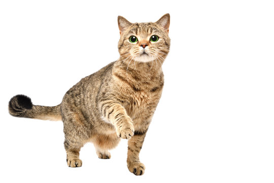 Portrait of charming curious cat Scottish Straight standing with raised paw isolated on white background