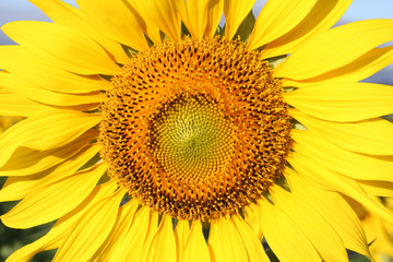 Closeup of Sunflower.