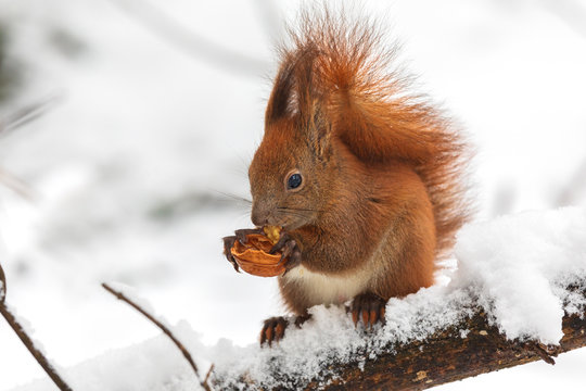 Eurasian red squirrel (Sciurus vulgaris) eating nut while sitting on branch covered in snow in winter. In winter season is difficult for squirrels to find food and people often feed them.