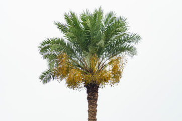Date palm tree with yellow dates