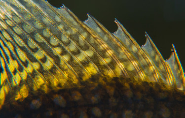 Closeup of the dorsal fin on a black crappie panfish.